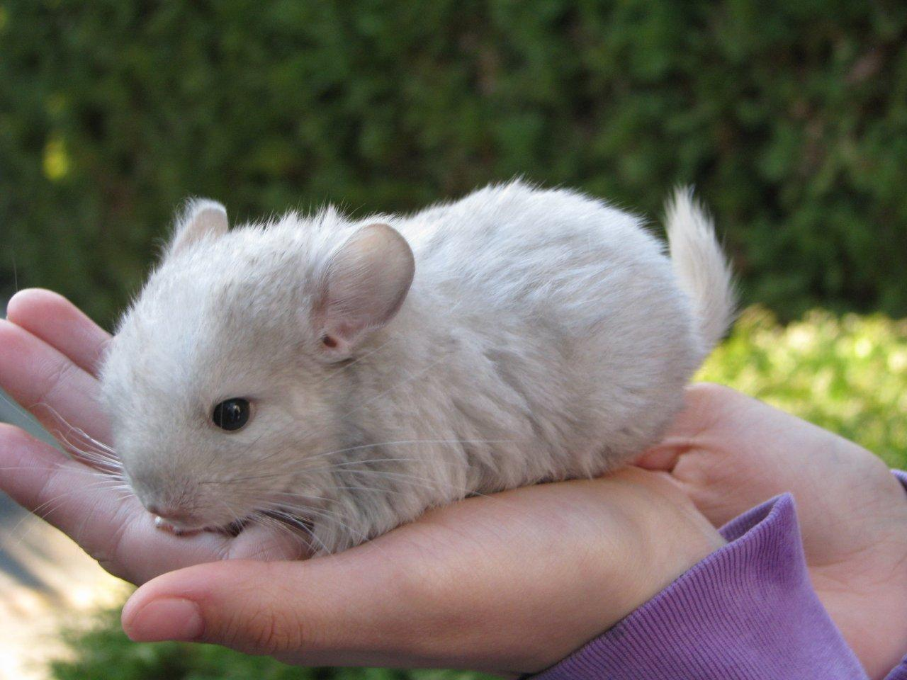 super Adorable Baby Chinchilla