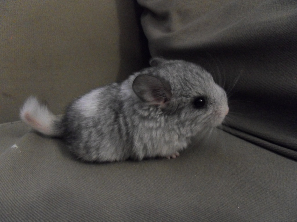Black Baby Chinchilla