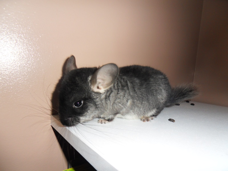 Gallery For > Black Velvet Chinchilla Baby